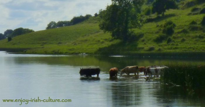 Cows drinking from the lake in the ancient landscape of prehistoric Ireland at Lough Gur, County Limerick.