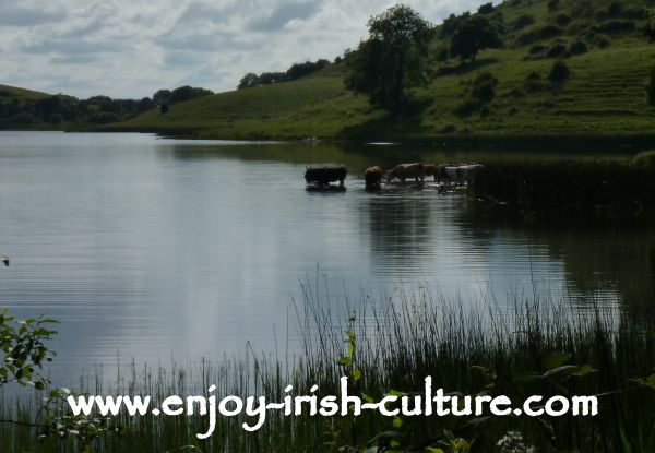 Cows drinking from the lake in the landscape of ancient Ireland at Lough Gur, County Limerick