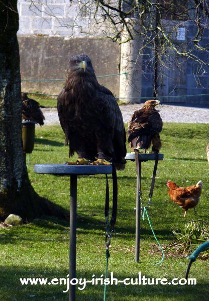An eagle on perch at the raptor show in County Sligo, Ireland.