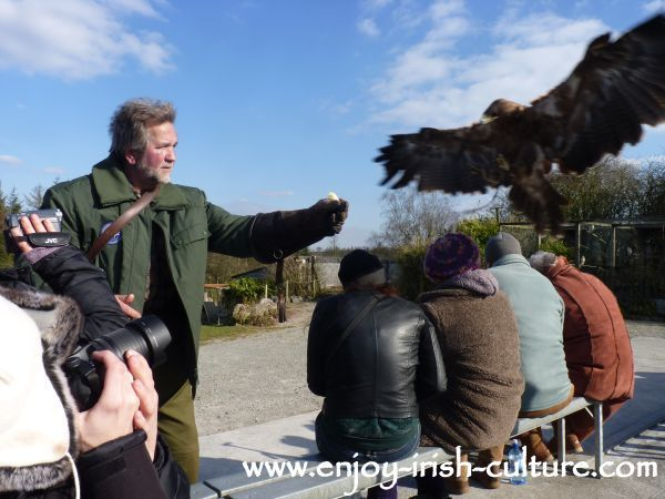 An eagle approaching during the best Irish raptor show in County Sligo, Ireland.