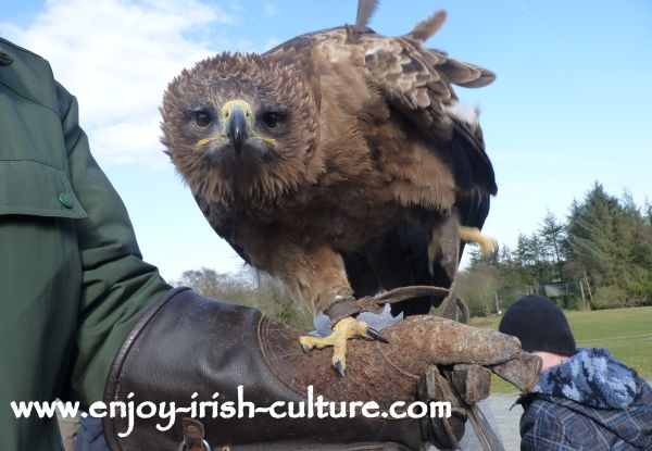 A tawny eagle at the raptor show in County Sligo, Ireland.