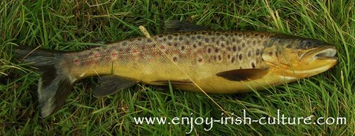 Fly fishing Irish lakes- a golden Lough Corrib brownie.
