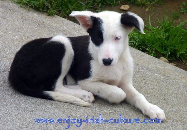 One of Joe's adorable sheepdog pups at the working sheepdog show in Connemara, Galway, Ireland.