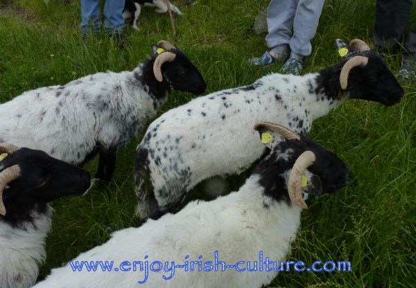 Sheepdog Shows in Connemara, Ireland with Joe Joyce. Black headed sheep are particularly tough and especially bred to be able to overwinter on these mountains.