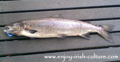 Tagged salmon caught in the Cong river, County Mayo, Ireland.