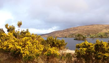 Connemara landscape with gorse, County Galway, Ireland.