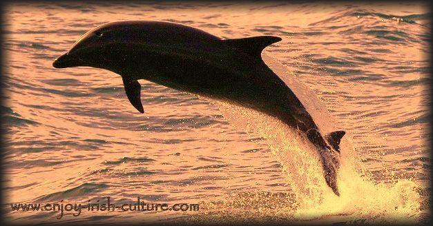Irish bottlenose dolphin