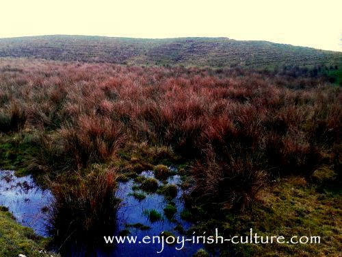 A boggy patch of land in County Roscommon reveals traces of ridges in which potatos would have been grown before, during and after the Irish Famine.