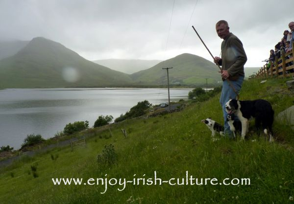 Sheepdog Shows with Joe Joyce in Connemara, County Galway, Ireland. This photo shows Joe in action commanding his dogs to round up the sheep.